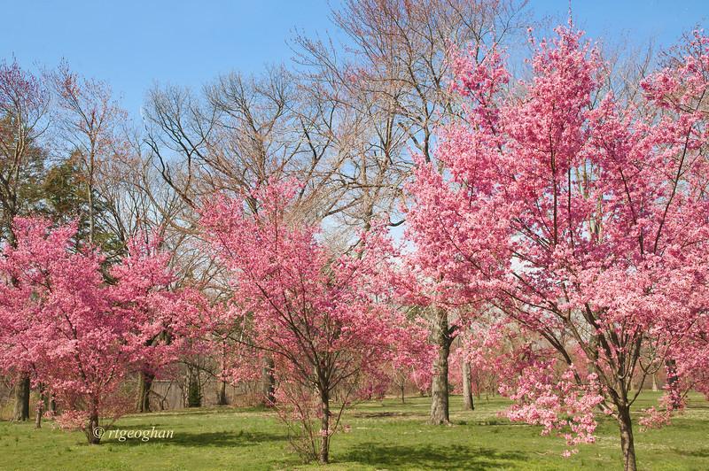 April 10_BranchBrookCherryBlossoms_7527.jpg