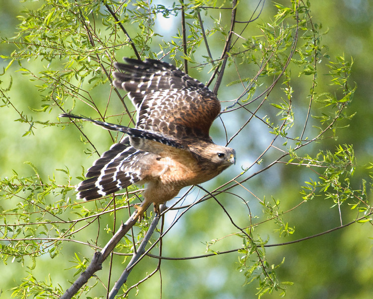"""Red Shouldered Hawk - """"Spring Flight"""""""
