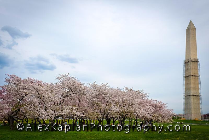 Cherry Blossoms, Washington DC By Alex Kaplan www.AlexKaplanPhoto.com