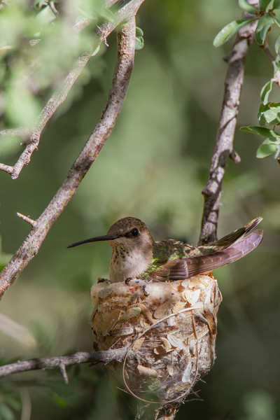 Anna's Hummingbird on nest - Tucson, AZ, USA