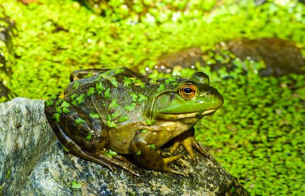 frogcloseYY.jpg