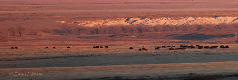 Smoky Valley TNC Ranch Bison.jpg