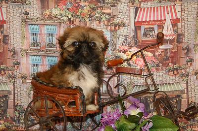 PEKINGNESE Puppy Photo & Video Gallery
