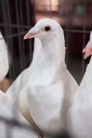 Rhinebeck Pigeon Show