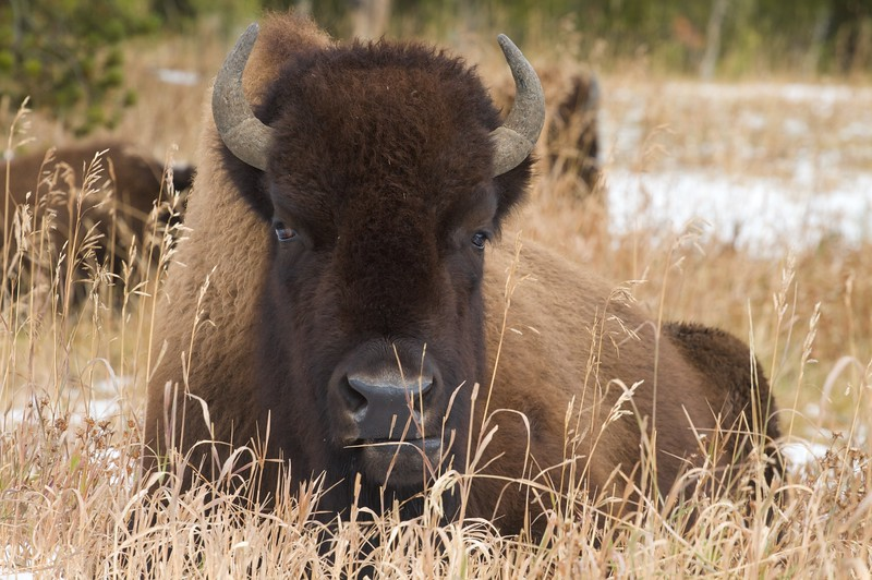 Young Bison bull [October; Yellowstone National Park, Wyoming]