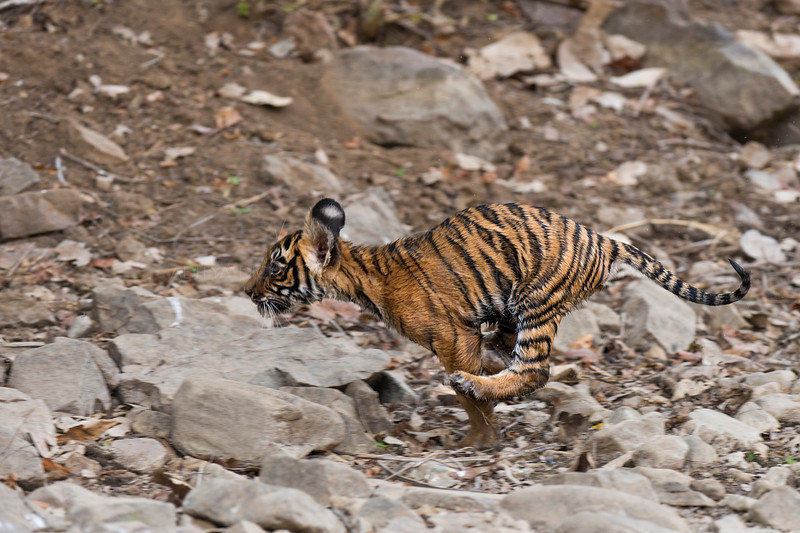 Tiger cub running in Ranthambhore