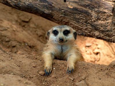 0 meerkats