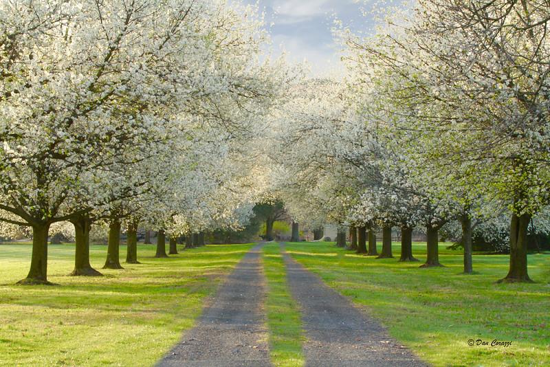 Pear trees2.jpg