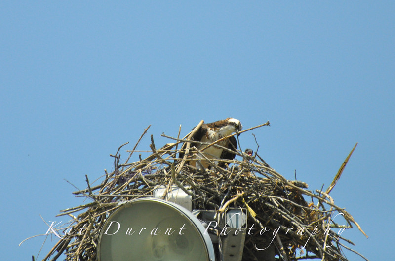 June 16th Osprey...BABIES!!Ok the baby pics are NOT the best but I can't get too close yet!Use the tool to enlarge photo and you can see the babies..