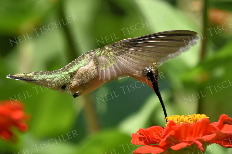 #1143  A ruby throated hummingbird feeds at an orange zinnia.