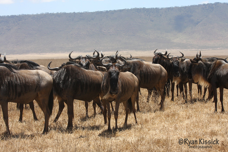 Wildebeest herd with Ngorogoro Crater in the background