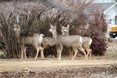 Deer in the Nieghborhood