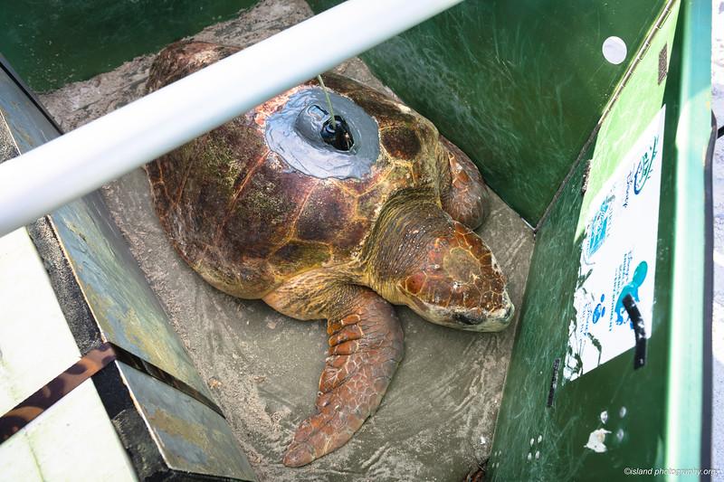 track Bortie! https://www.islandphotography.org/Other/Bortie-the-Sea-Turtle/