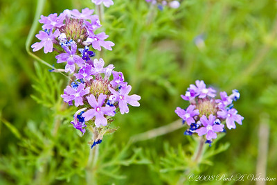 Texas Roadside Wildflowers 04-20-08
