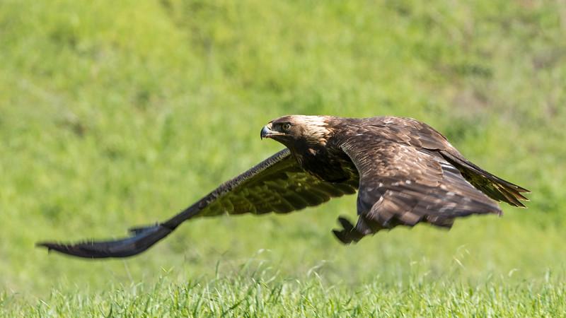 Golden Eagle on the Hunt