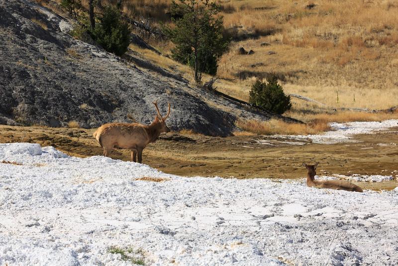 Mammoth Mule Deer 001