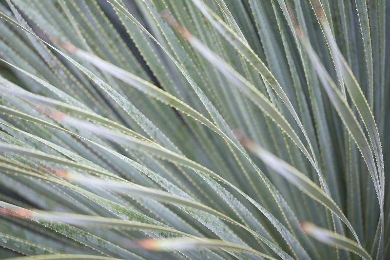 Pastel Yucca