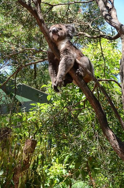 a koala in Healesville Wildlife Sanctuary near Melbourne