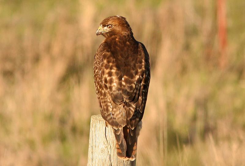 WB~Red Tailed Hawk.jpg