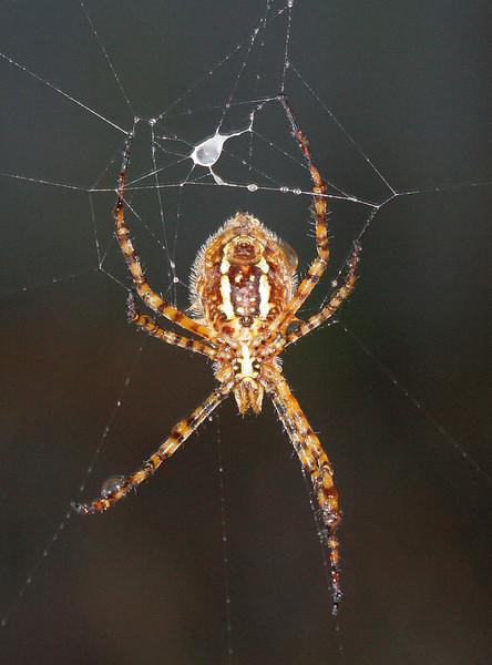 0868 Orb Spider.jpg