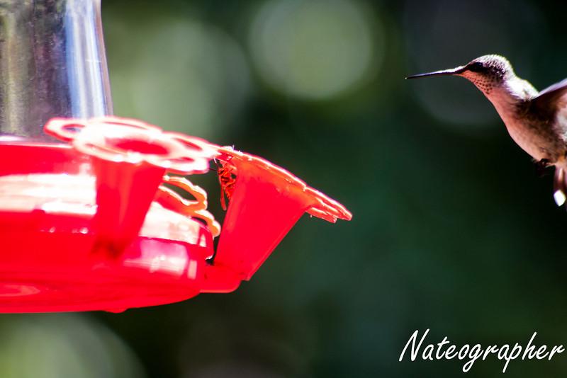 HummingBirds-4245.jpg