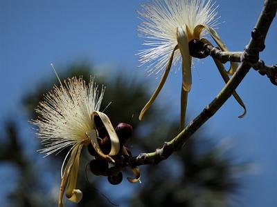 Sarasota Tree White Flowers