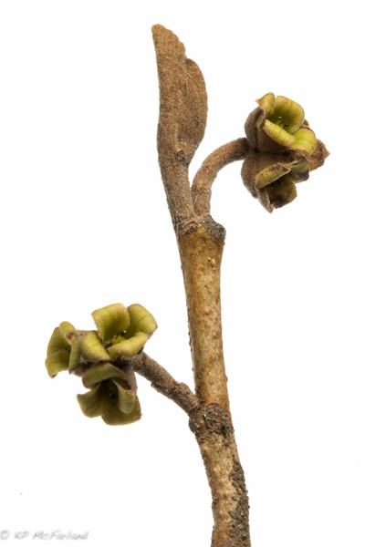 witchhazel (Hamamelis virginiana