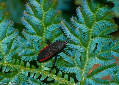 Hemipteres; Reduviidae , Coreidae de Guyane Francaise