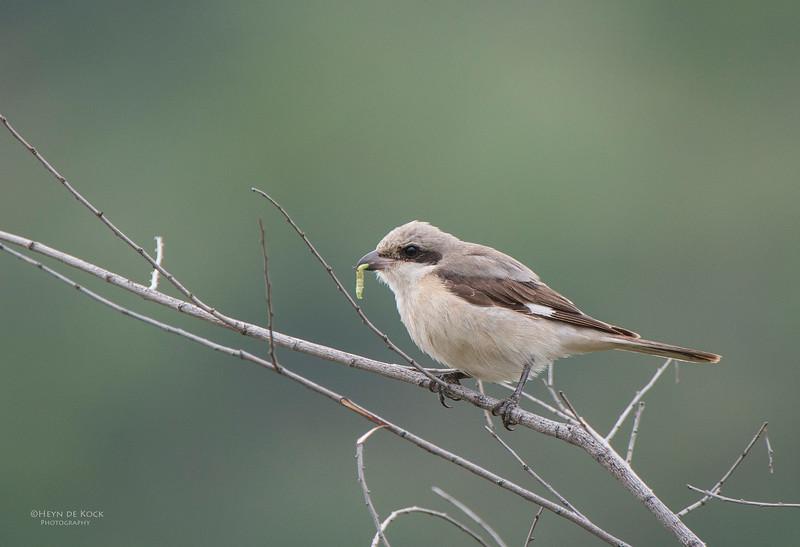 Lesser Grey Shrike, Pilansberg National Park, SA, Dec 2013-1.jpg
