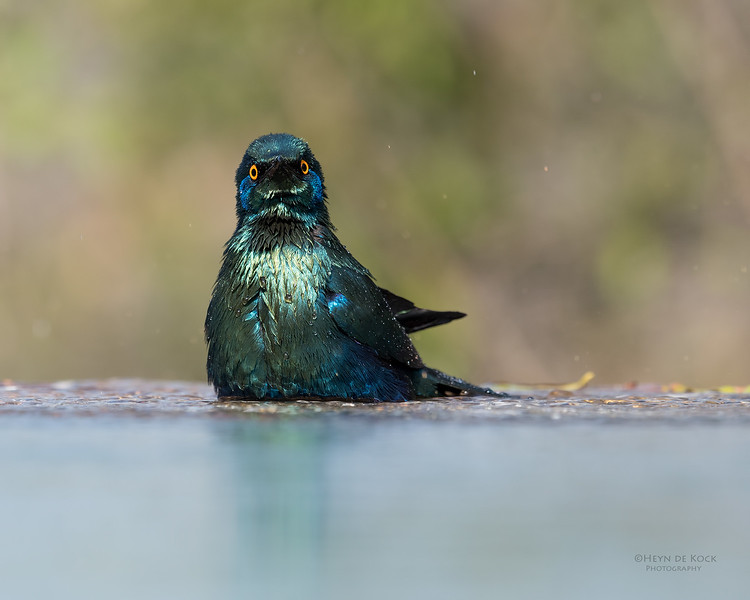 Greater Blue-eared Starling, Sabi Sands (EP), SA, Oct 2016-13.jpg