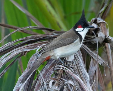 Red Whiskered Bul Bul