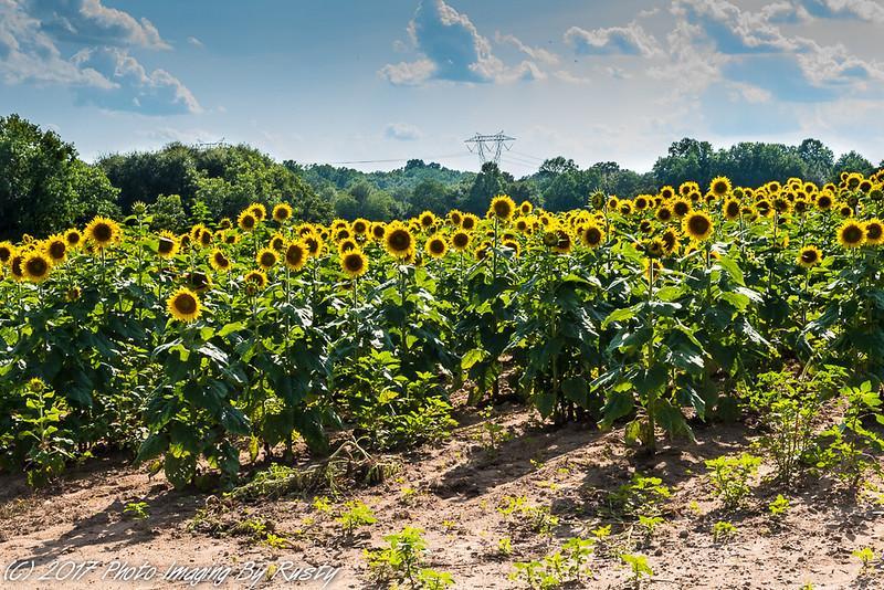 Sun Flowers-14.JPG