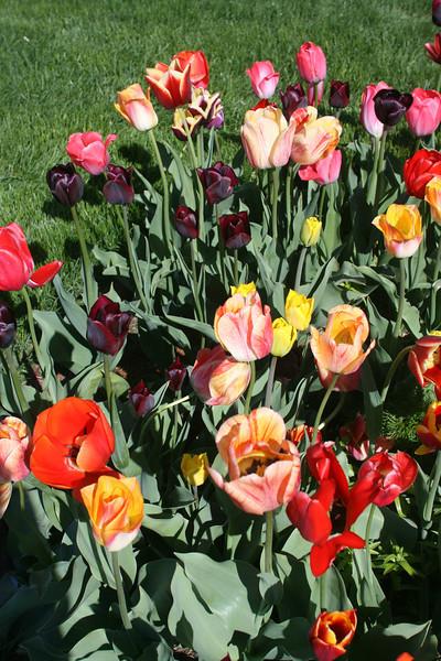 Tulips 2011 013.JPG