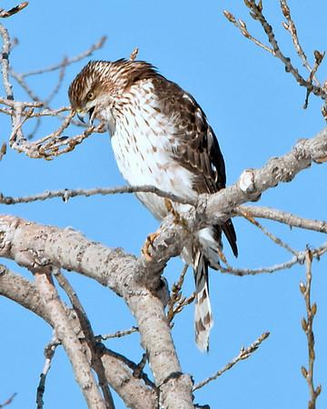 Osprey-Merlins-Hawks_Eagles