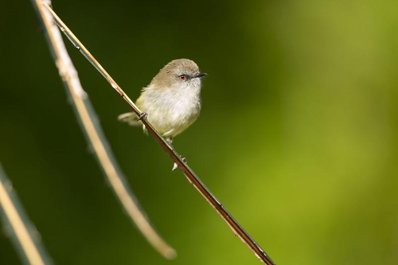 Grey Warbler at Orokonui Ecosanctuary