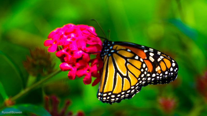 Monarch Butterfly-1.jpg