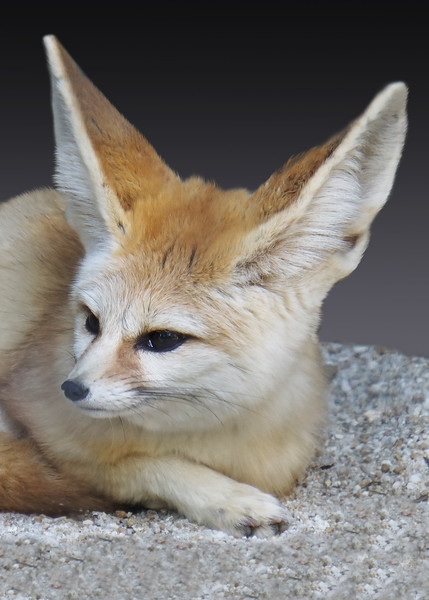 FENNEC FOX - ALGERIA