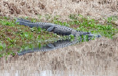 untitled20110203_Alligator MyakkaLakeFL_7I2B4639_11-02-03