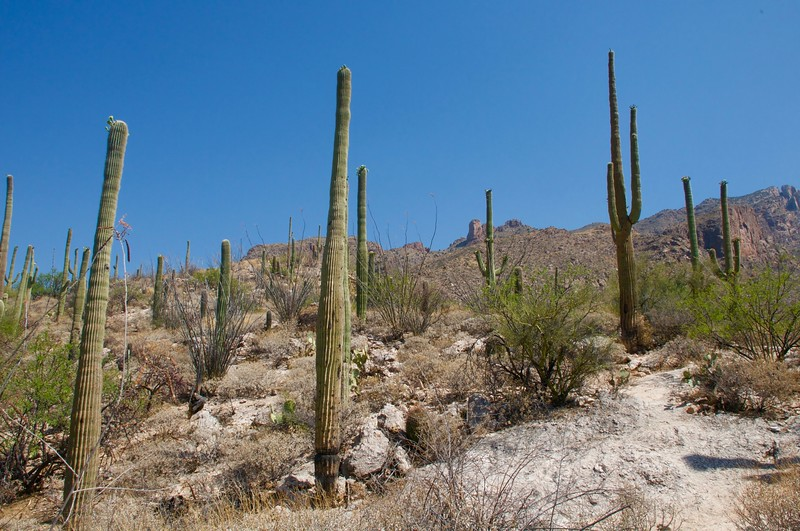 Cacti in the desert_Tucson AZ.jpg