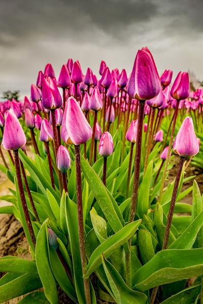 Tulips with cloudy sky-10.jpg