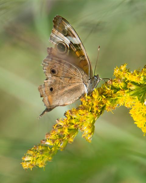 'Summer Grey' seasonal coloration - Common Buckeye