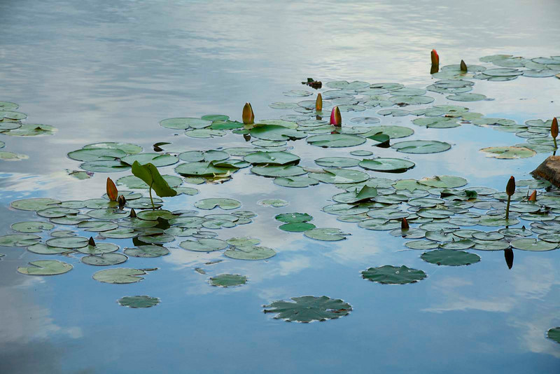 Waterlilies floating on clouds 2
