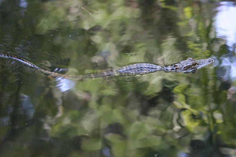 Alligator in the marsh at Hilton Head, SC