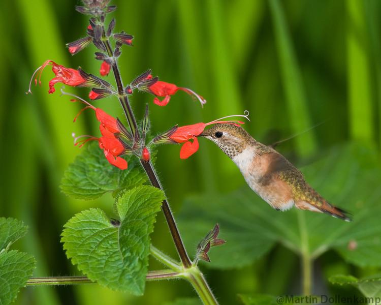 Juvenile Rufous Hummingbird feeding on Salvia exserta. Rufous Hummingbird Selasphorus rufous