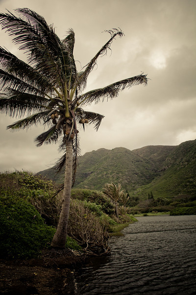 Halawa Valley palm tree.jpg