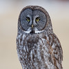 Great Grey Owl - Rockyview County