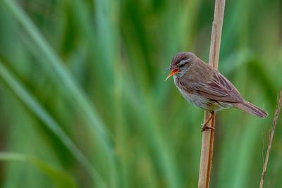 Sivsanger (Sedge Warbler)