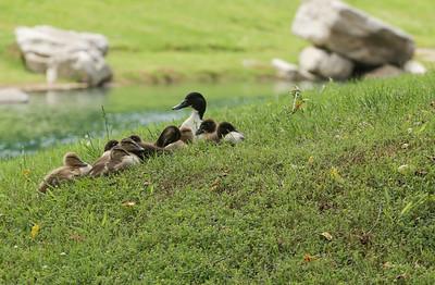 SpringTime Baby Ducks