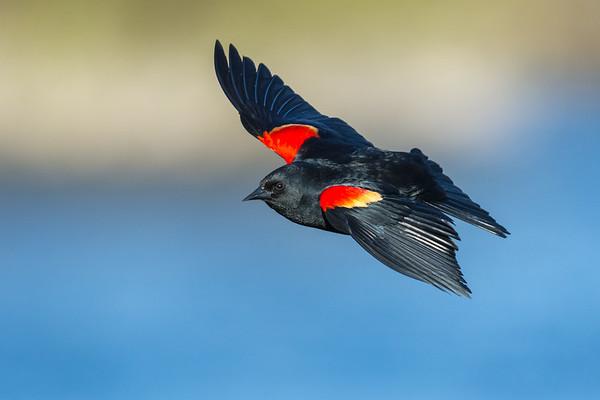 Blackbirds, Meadowlarks and Orioles