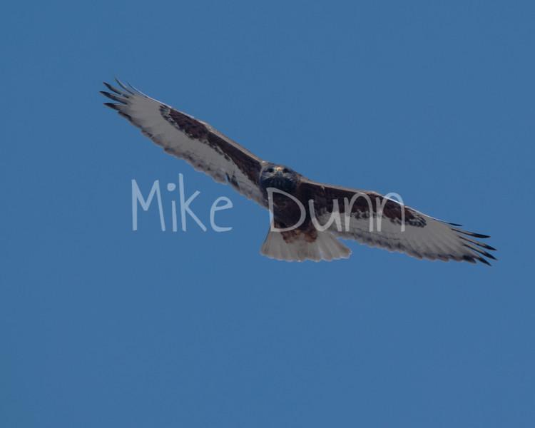 Ferruginous Hawk-14